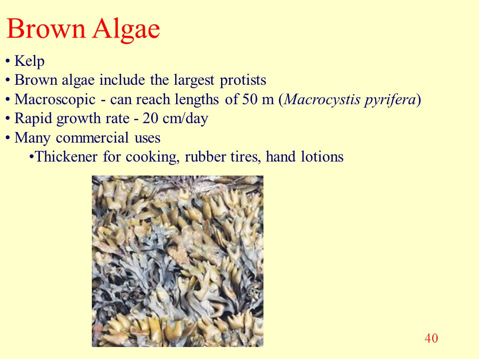 Brown Algae Kelp Brown algae include the largest protists