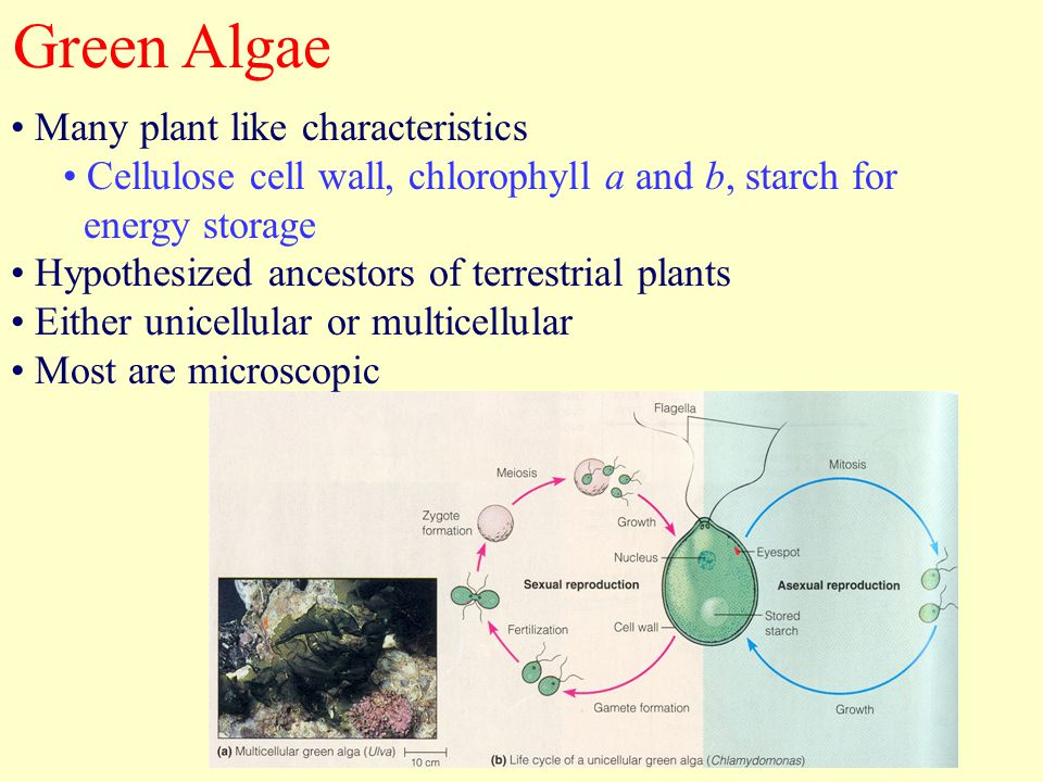 Green Algae Many plant like characteristics