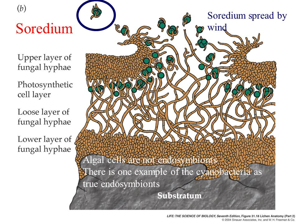 Soredium Soredium spread by wind Algal cells are not endosymbionts