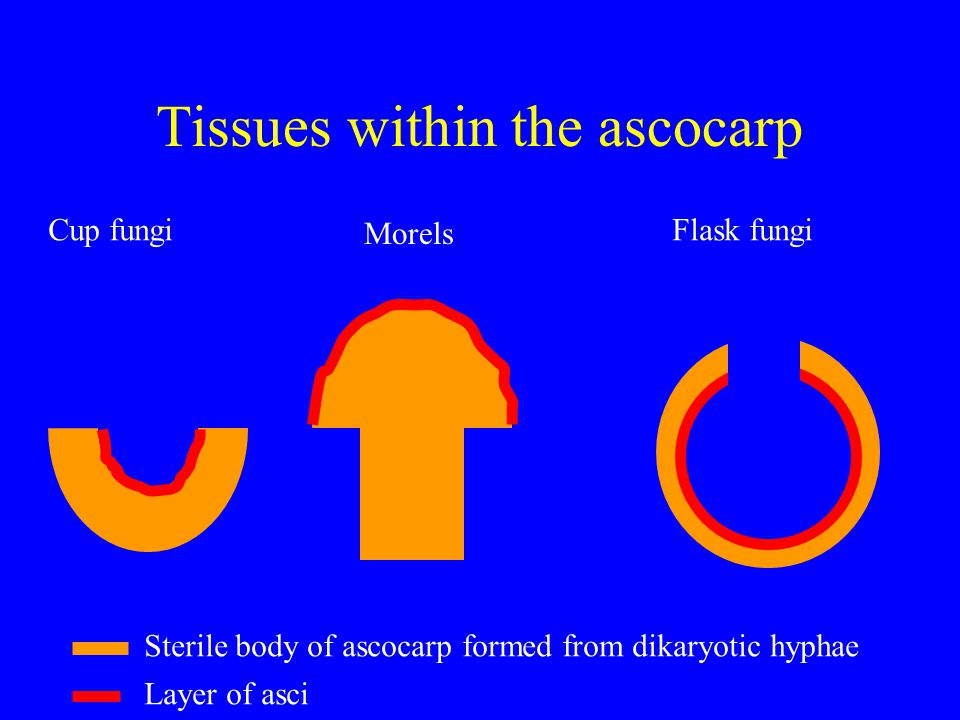 Tissues within the ascocarp