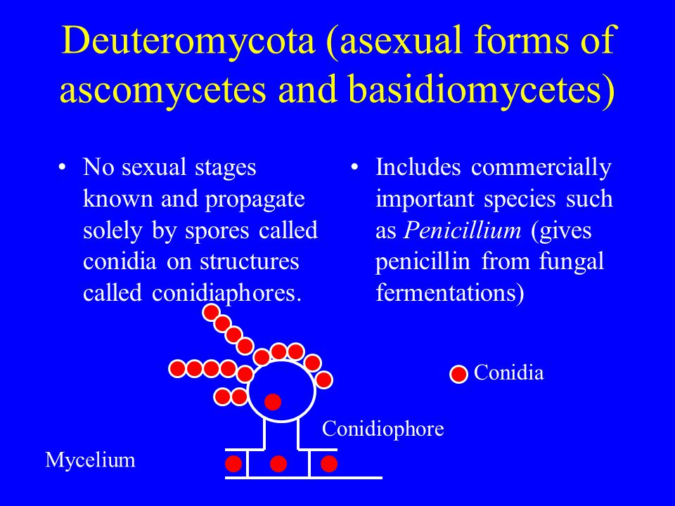 Deuteromycota (asexual forms of ascomycetes and basidiomycetes)