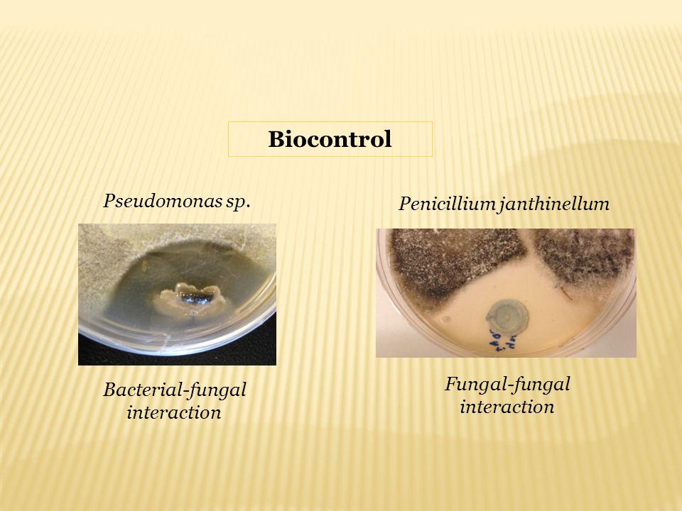 Penicillium janthinellum