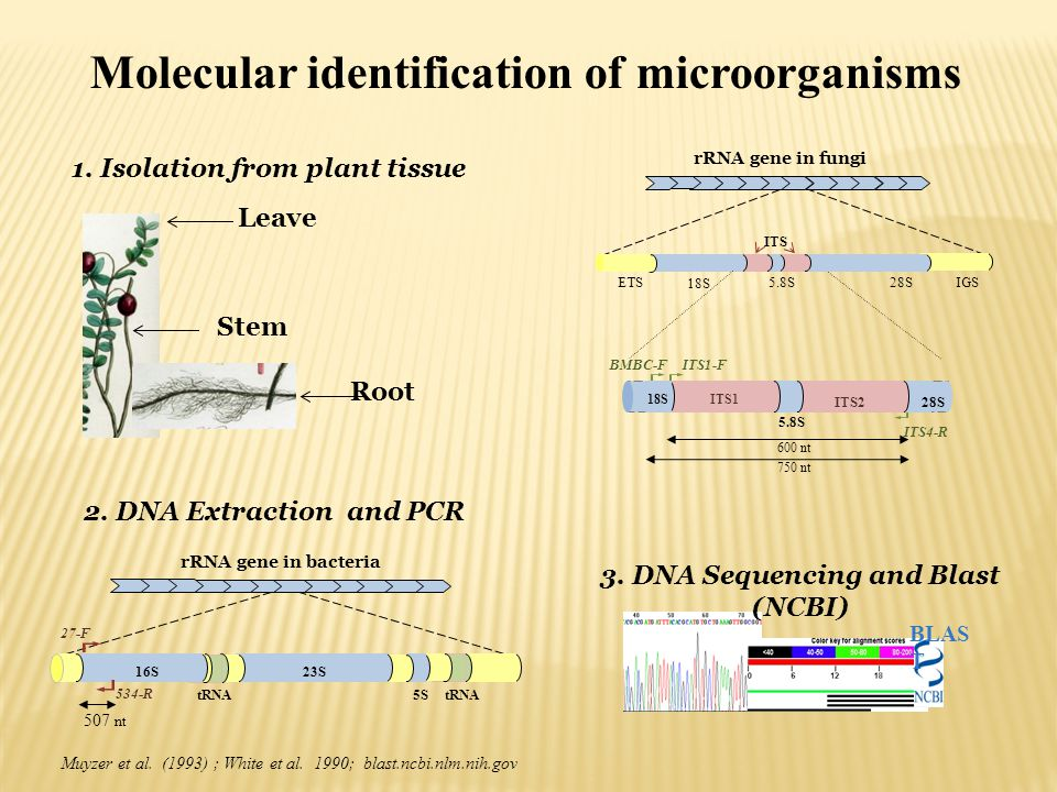 1. Isolation from plant tissue 3. DNA Sequencing and Blast (NCBI)