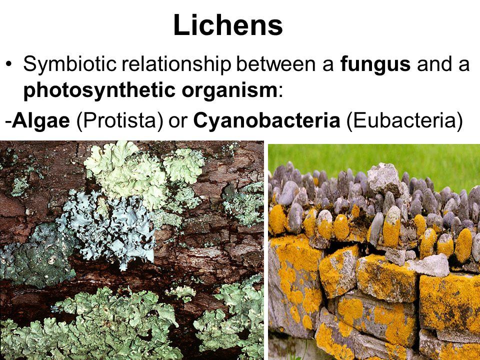 Lichens Symbiotic relationship between a fungus and a photosynthetic organism: -Algae (Protista) or Cyanobacteria (Eubacteria)