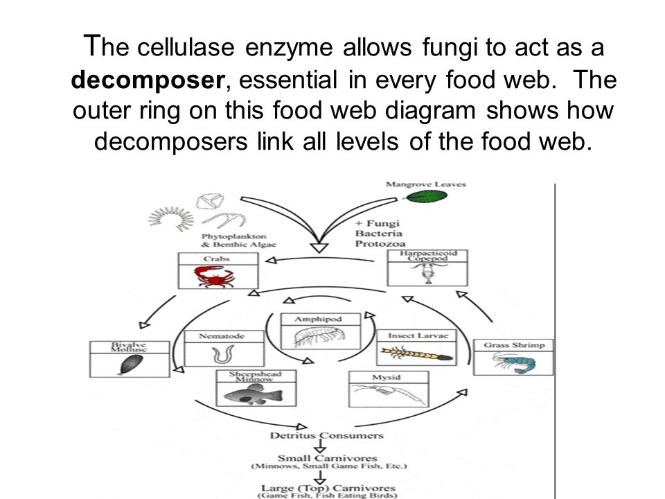 The cellulase enzyme allows fungi to act as a decomposer, essential in every food web.