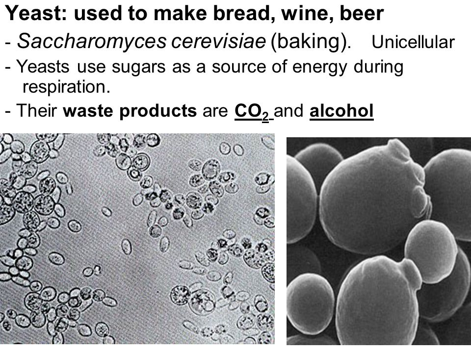 Yeast: used to make bread, wine, beer