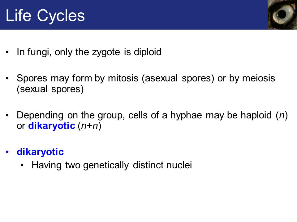 Life Cycles In fungi, only the zygote is diploid