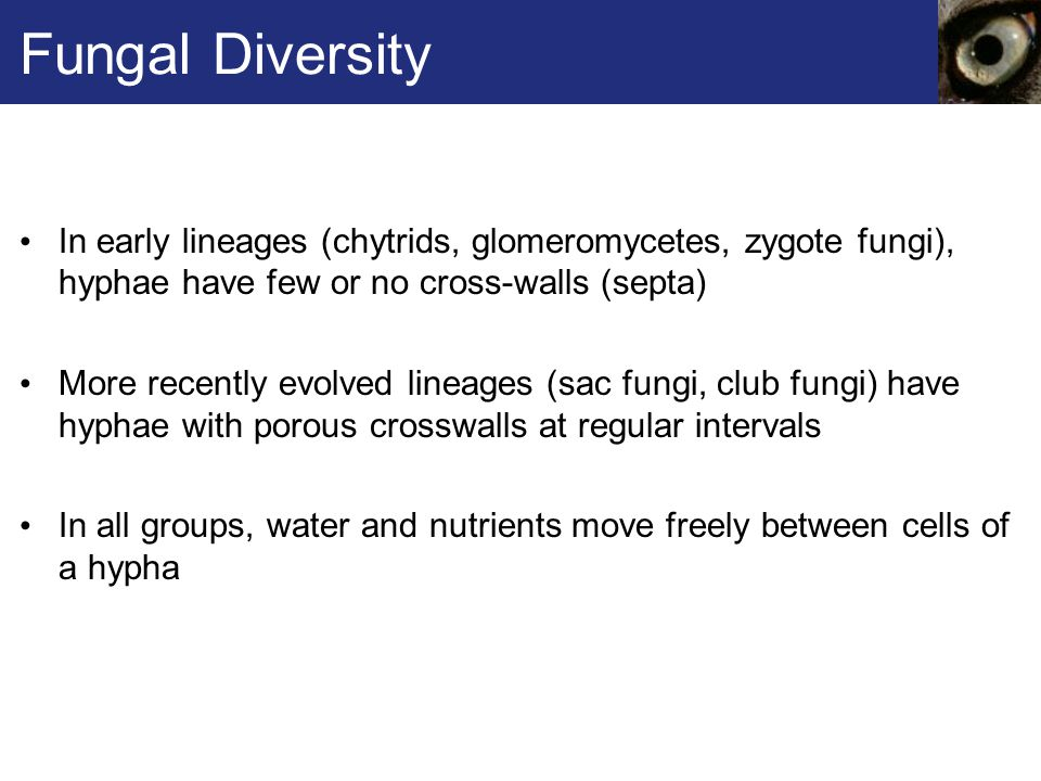 Fungal Diversity In early lineages (chytrids, glomeromycetes, zygote fungi), hyphae have few or no cross-walls (septa)