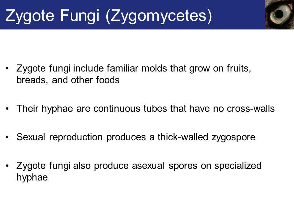 Zygote Fungi (Zygomycetes)