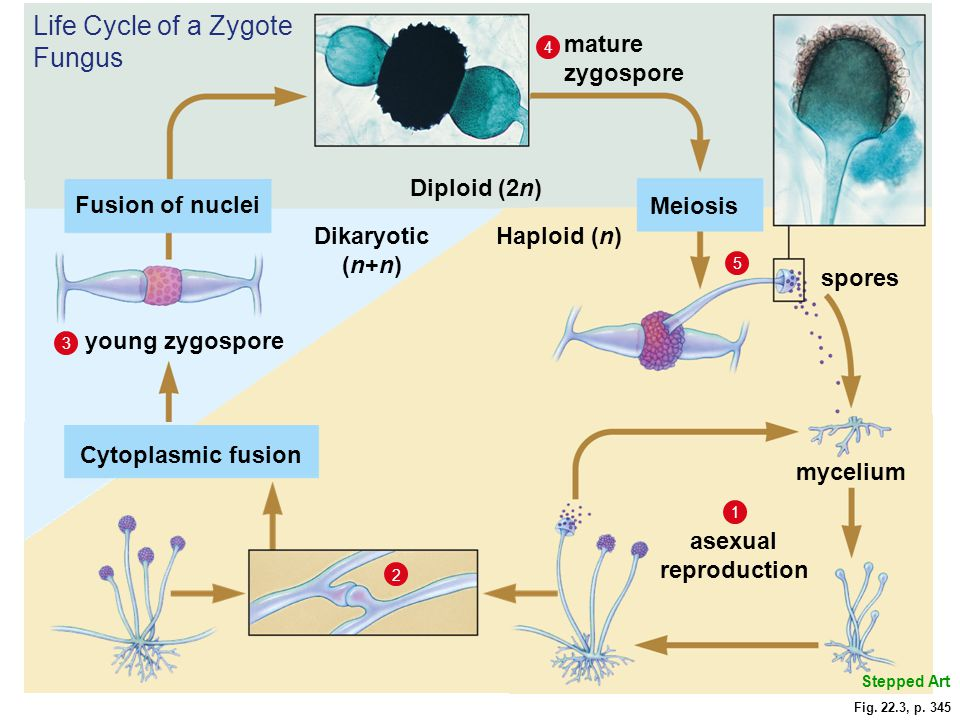 Life Cycle of a Zygote Fungus