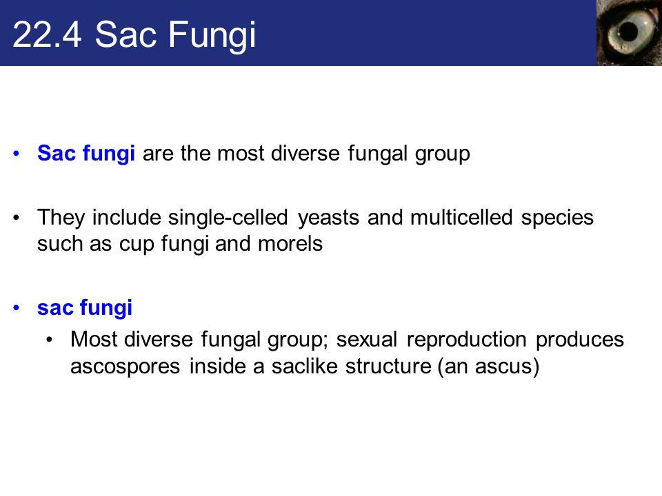 22.4 Sac Fungi Sac fungi are the most diverse fungal group