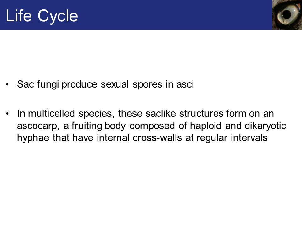 Life Cycle Sac fungi produce sexual spores in asci