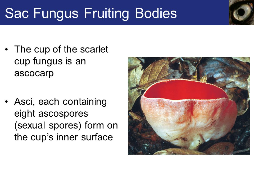 Sac Fungus Fruiting Bodies
