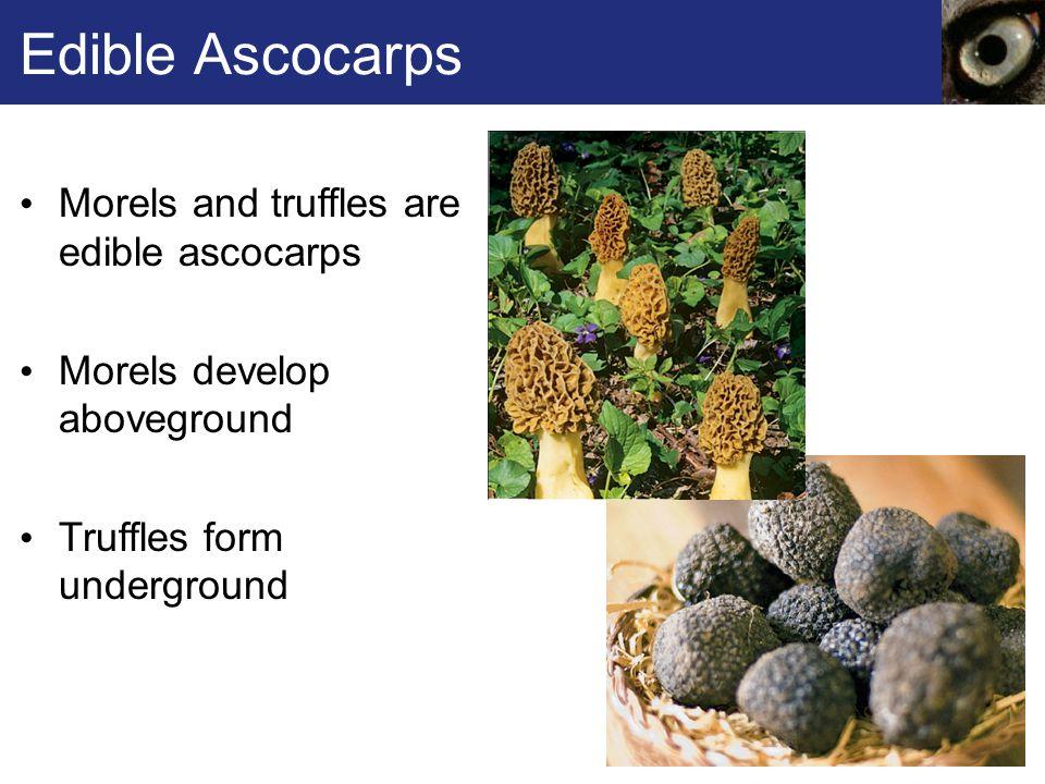 Edible Ascocarps Morels and truffles are edible ascocarps