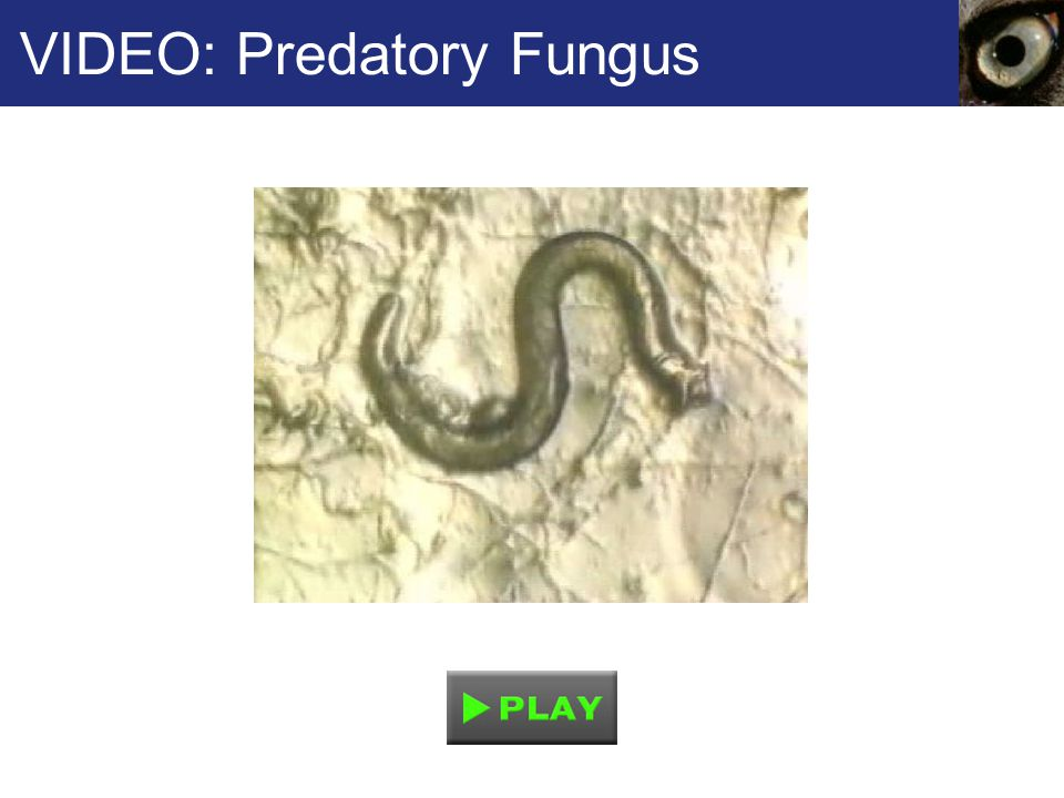 VIDEO: Predatory Fungus