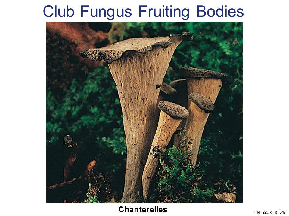 Club Fungus Fruiting Bodies