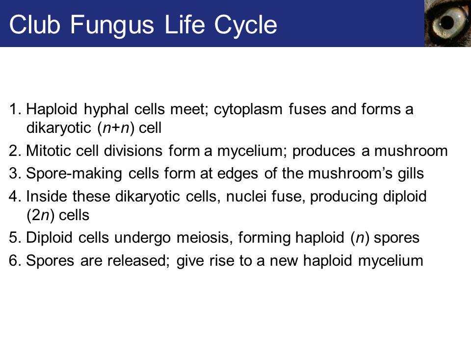Club Fungus Life Cycle 1. Haploid hyphal cells meet; cytoplasm fuses and forms a dikaryotic (n+n) cell.