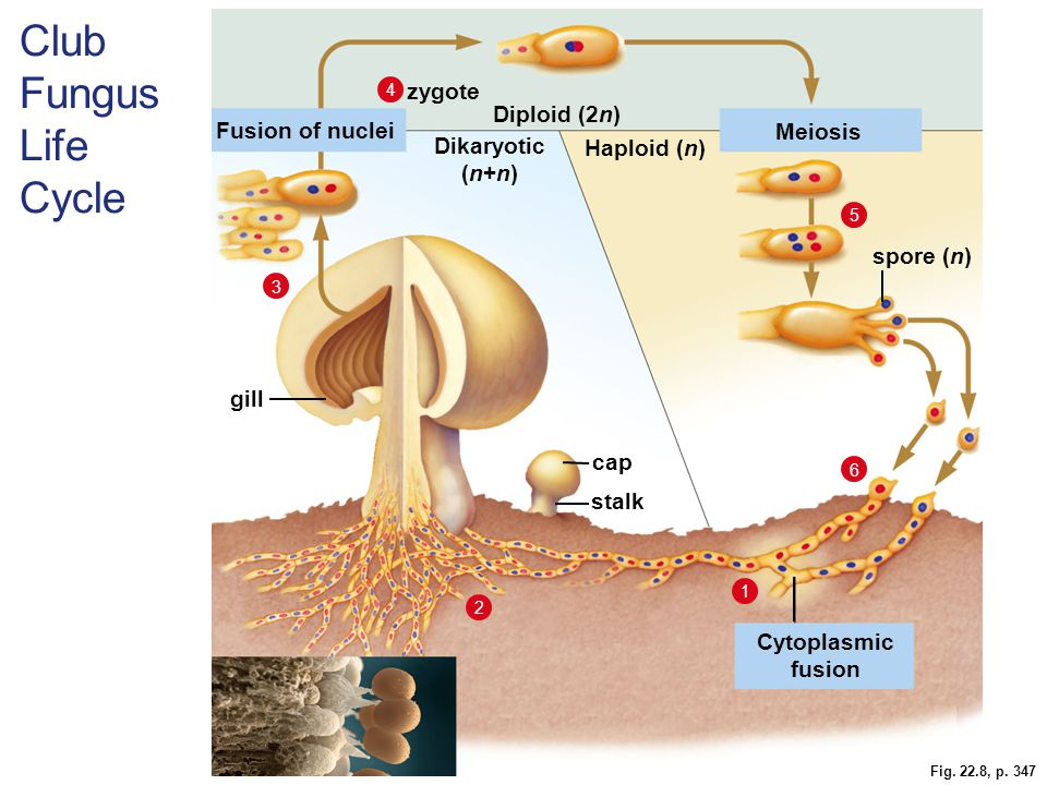 Club Fungus Life Cycle zygote Diploid (2n) Fusion of nuclei Meiosis