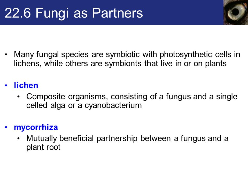 22.6 Fungi as Partners Many fungal species are symbiotic with photosynthetic cells in lichens, while others are symbionts that live in or on plants.