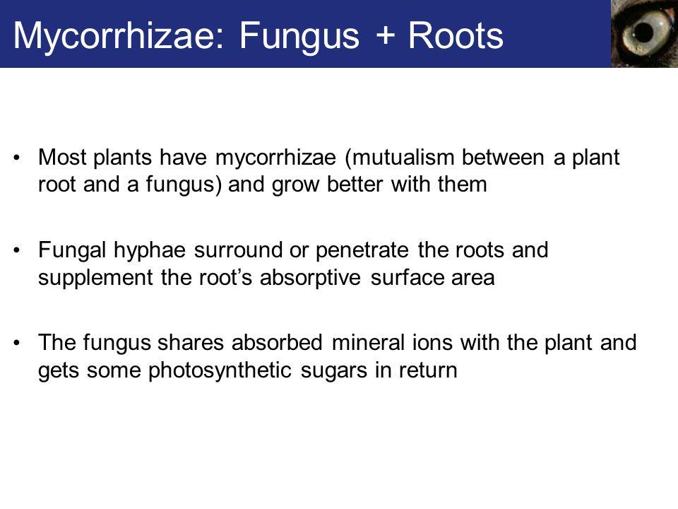 Mycorrhizae: Fungus + Roots