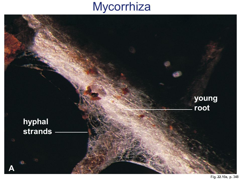 Mycorrhiza young root hyphal strands A