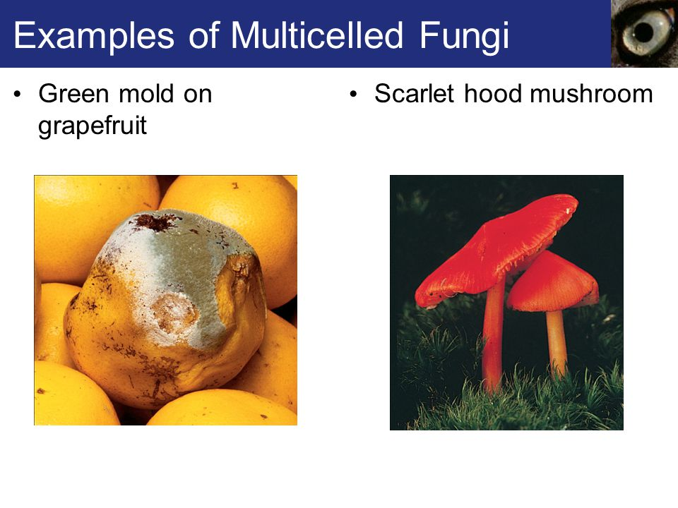 Examples of Multicelled Fungi