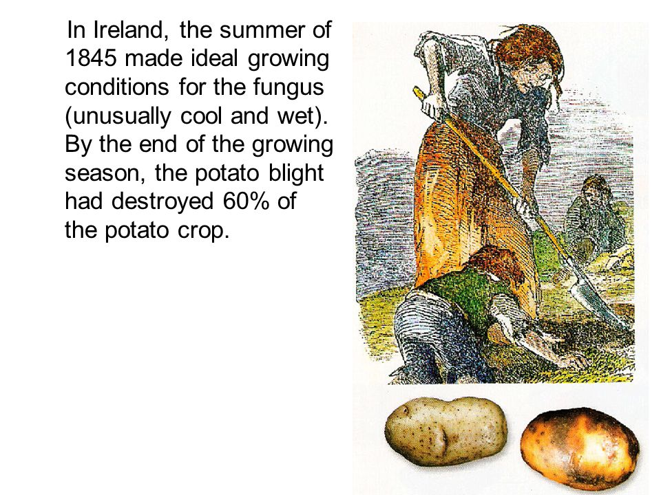 In Ireland, the summer of 1845 made ideal growing conditions for the fungus (unusually cool and wet).
