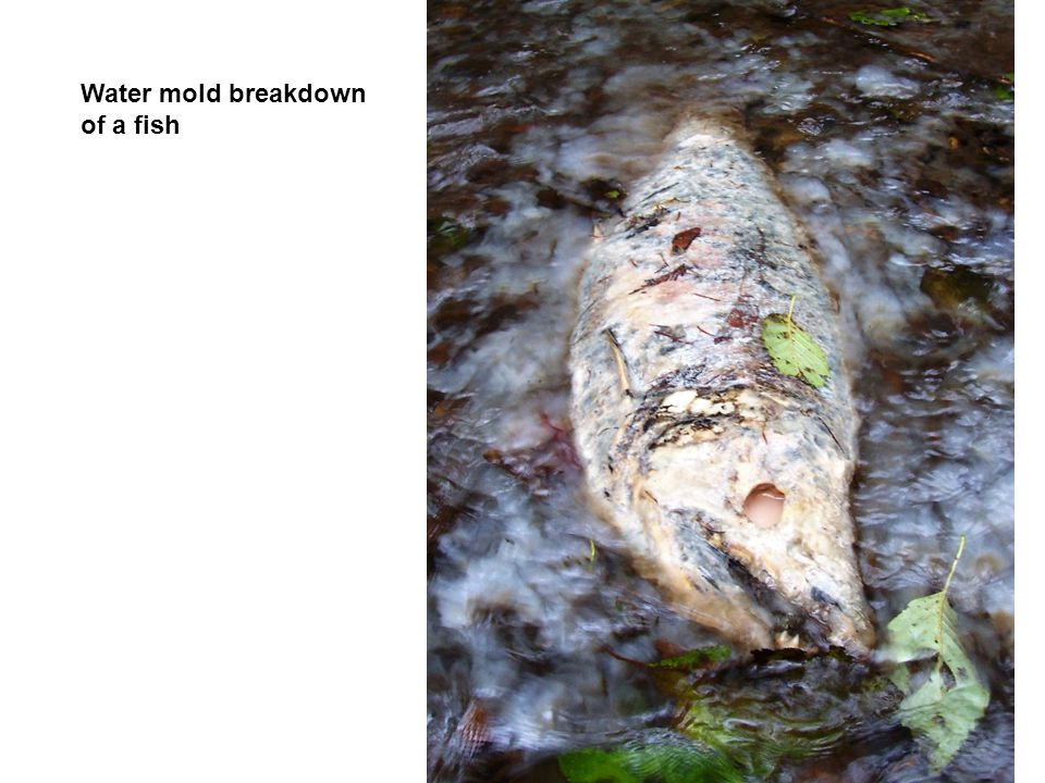 Water mold breakdown of a fish