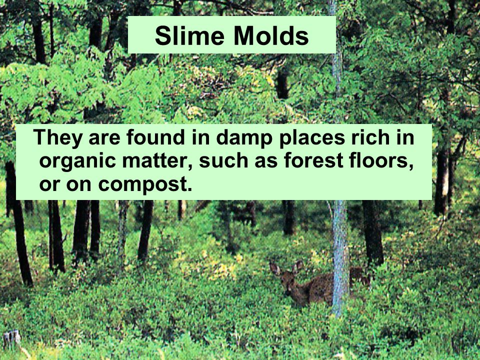 Slime Molds They are found in damp places rich in organic matter, such as forest floors, or on compost.