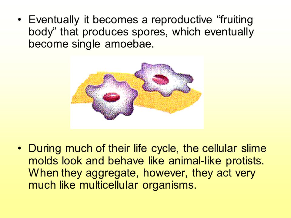 Eventually it becomes a reproductive fruiting body that produces spores, which eventually become single amoebae.