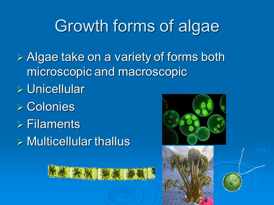 Growth forms of algae Algae take on a variety of forms both microscopic and macroscopic. Unicellular.