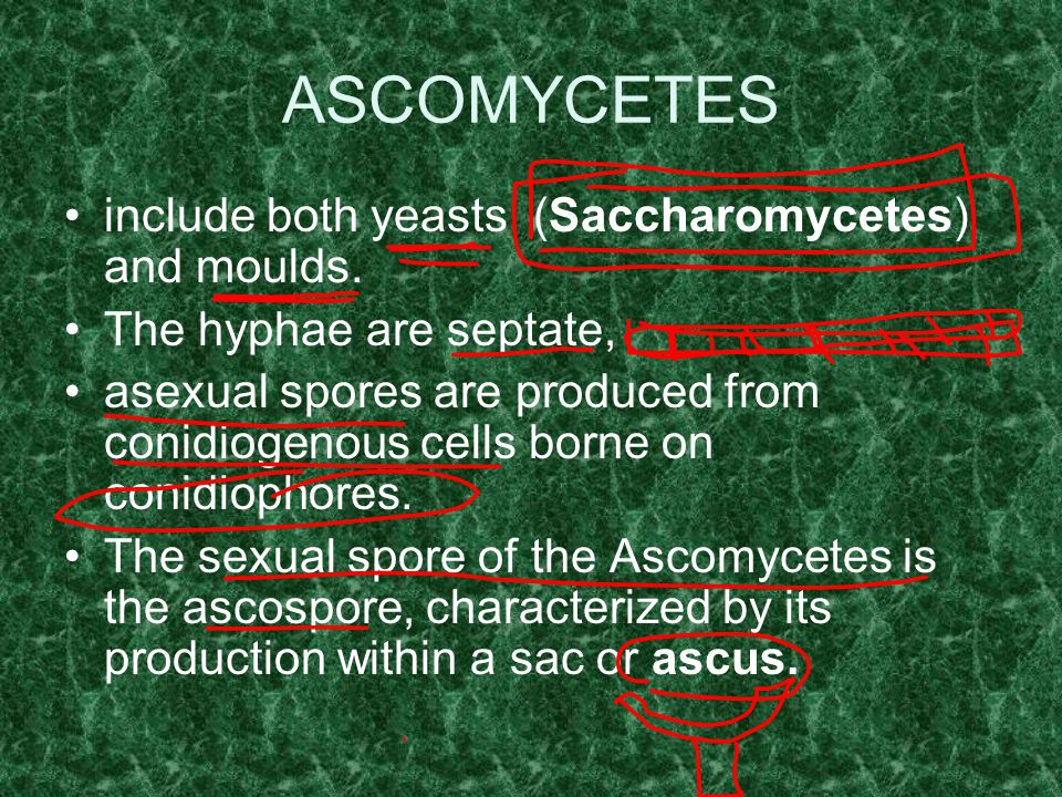 ASCOMYCETES include both yeasts (Saccharomycetes) and moulds.