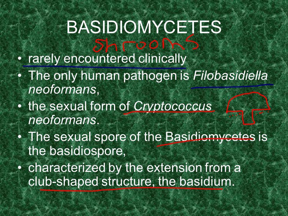 BASIDIOMYCETES rarely encountered clinically
