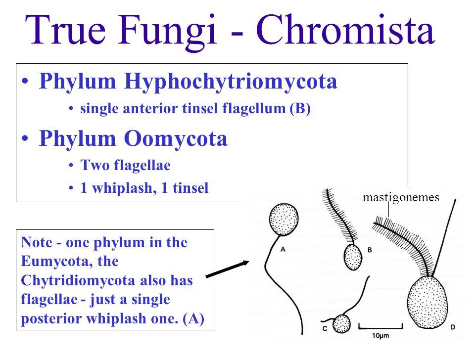 True Fungi - Chromista Phylum Hyphochytriomycota Phylum Oomycota