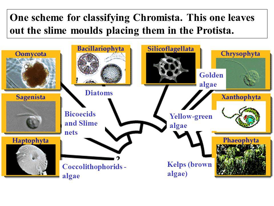 One scheme for classifying Chromista