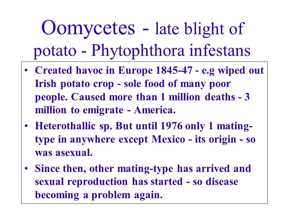 Oomycetes - late blight of potato - Phytophthora infestans