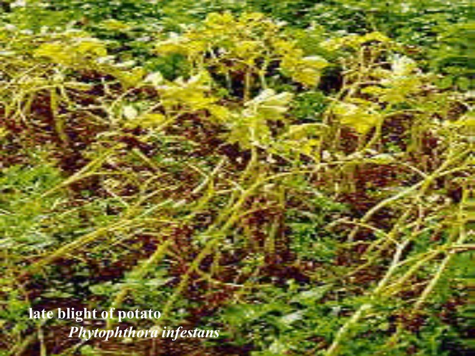 late blight of potato Phytophthora infestans