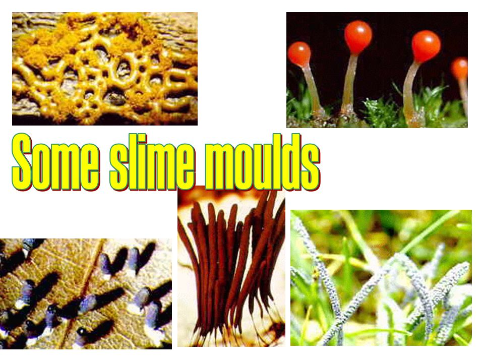 Some slime moulds