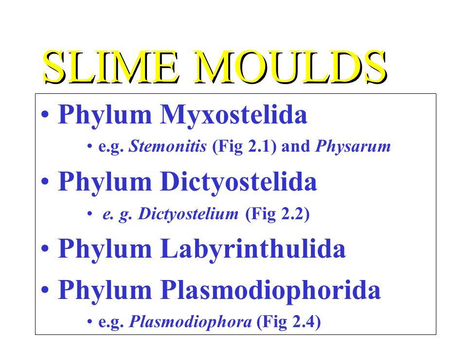 SLIME MOULDS Phylum Myxostelida Phylum Dictyostelida