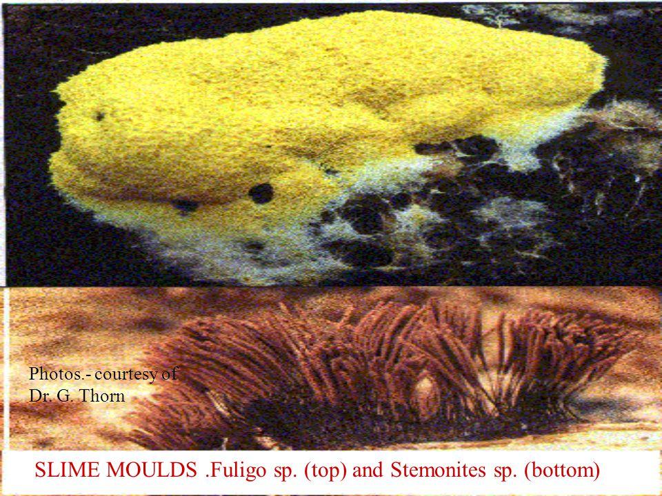 SLIME MOULDS .Fuligo sp. (top) and Stemonites sp. (bottom)