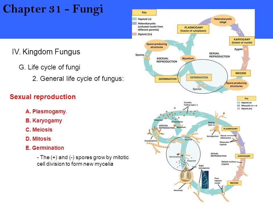Chapter 31 - Fungi IV. Kingdom Fungus G. Life cycle of fungi