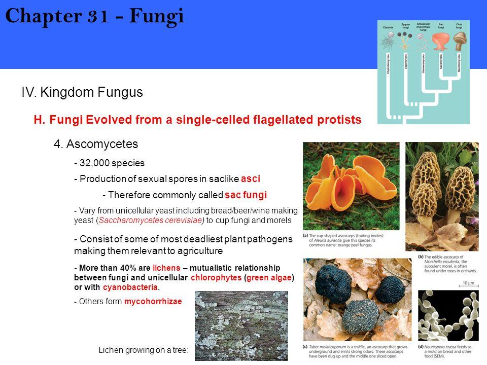 Chapter 31 - Fungi IV. Kingdom Fungus