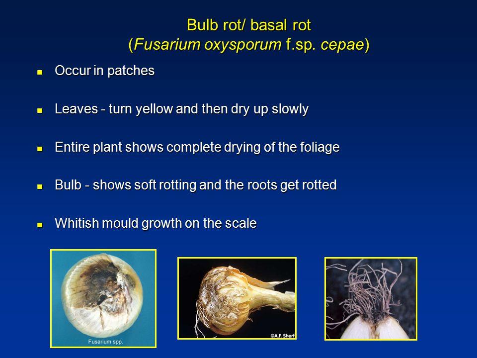 Bulb rot/ basal rot (Fusarium oxysporum f.sp. cepae)