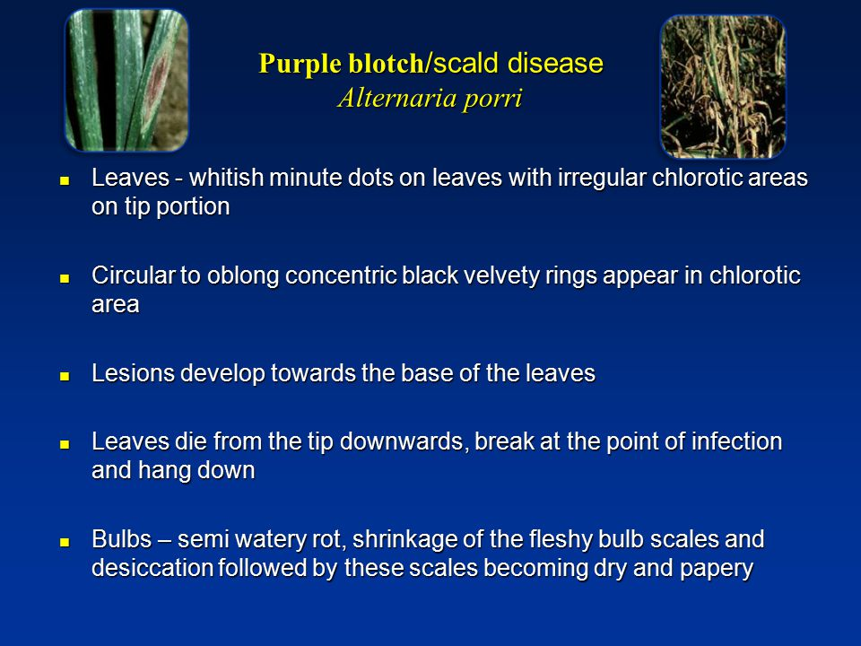 Purple blotch/scald disease Alternaria porri