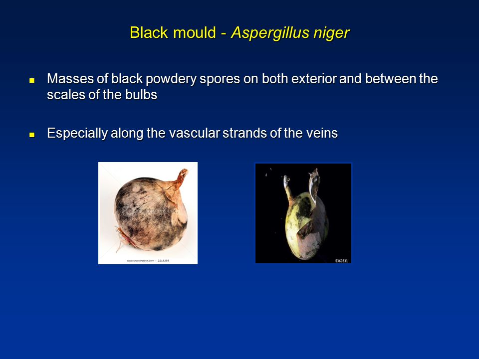 Black mould - Aspergillus niger