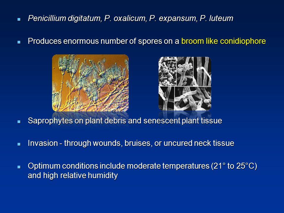 Penicillium digitatum, P. oxalicum, P. expansum, P. luteum