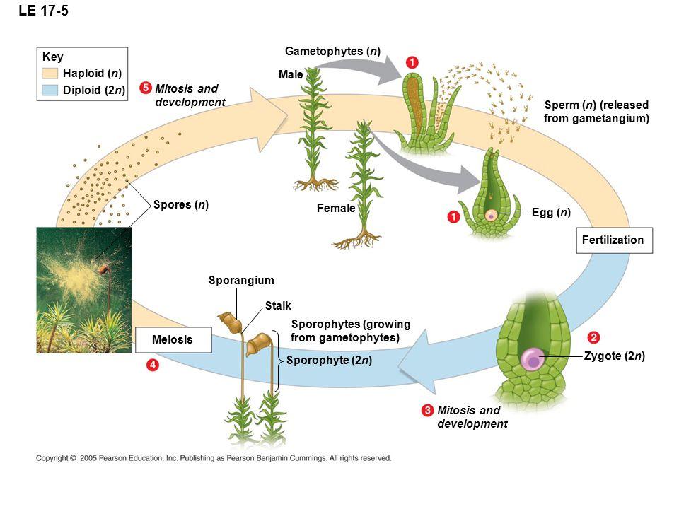 LE 17-5 Gametophytes (n) Key Haploid (n) Male Diploid (2n) Mitosis and
