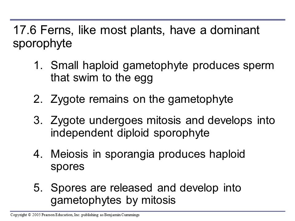 17.6 Ferns, like most plants, have a dominant sporophyte