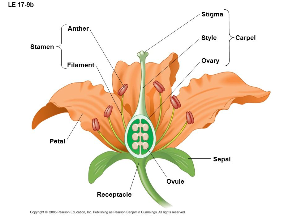 Stigma Anther Style Carpel Stamen Ovary Filament Petal Sepal Ovule