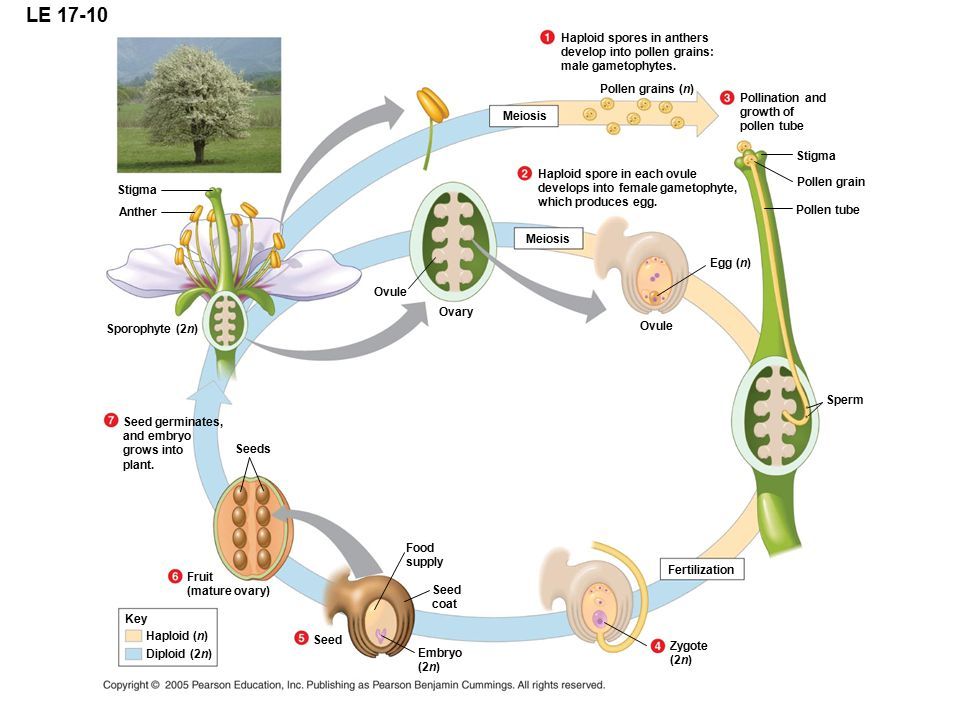 LE 17-10 Haploid spores in anthers develop into pollen grains: